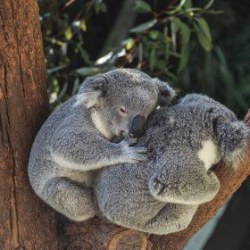 Koalas bushfire